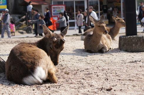 宮島の鹿の画像4
