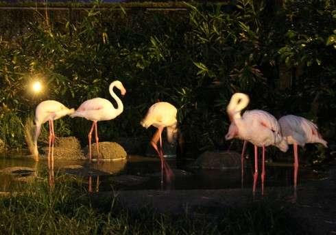 安佐動物園のナイトサファリ フラミンゴ