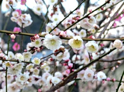 西風梅苑、200本の梅