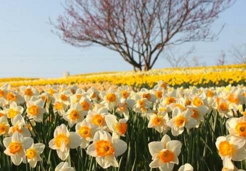 備北丘陵公園スイセンファンタジー、日本最大級規模で咲き誇る