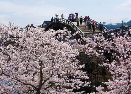 美しい景色にウットリ、岩国・錦帯橋の桜が満開に!