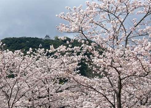 岩国城と桜