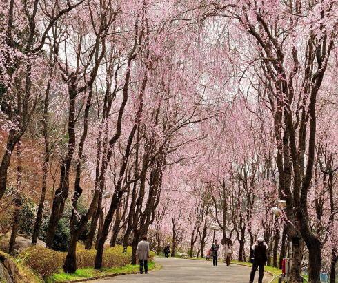 世羅甲山ふれあいの里 桜スポット
