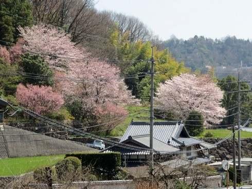 廿日市市宮内エリアの桜が見ごろに