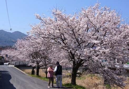 宮内交番そば、川沿いの桜
