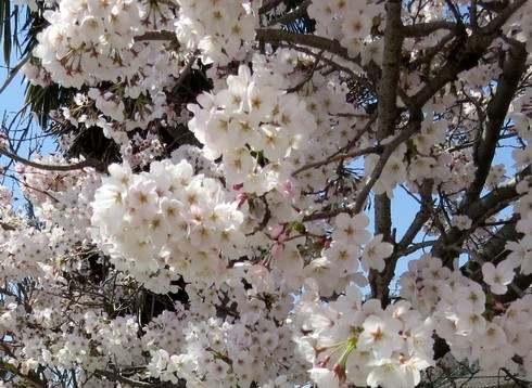 廿日市市宮内の桜が満開で見頃