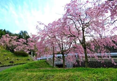 アルカディアビレッジのしだれ桜