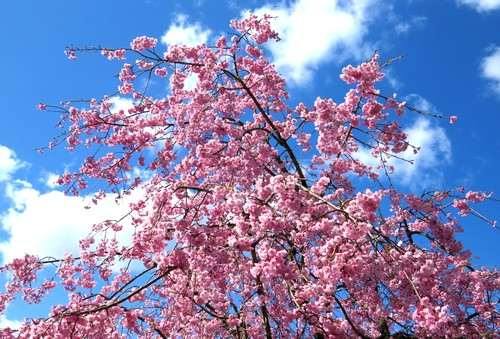 アルカディアビレッジの枝垂桜 2015
