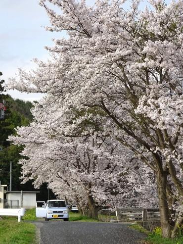 馬洗川沿いの桜 画像6
