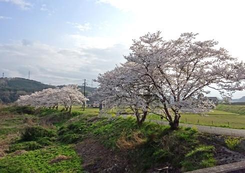 馬洗川沿いの桜 画像5