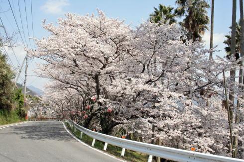 桜街道(しびれ峠) 江田島桜スポット