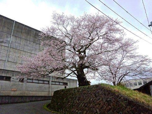 樹齢260年の大木・藤木の桜が庄原で見頃に