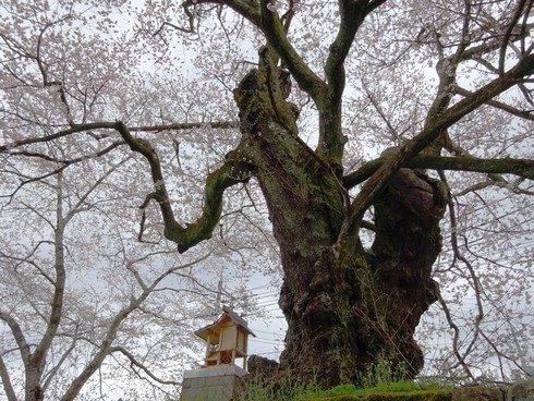 藤木の桜 エドヒガン 画像2
