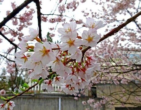 藤木の桜 エドヒガン 画像3