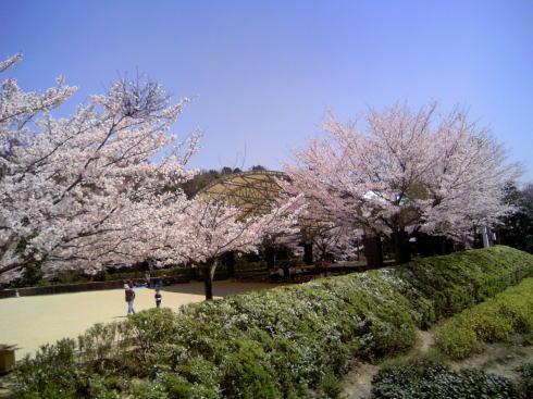 龍王山公園 桜の写真