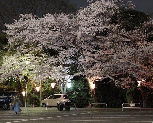 比治山公園 夜桜 画像2