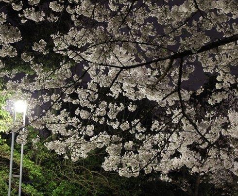 比治山公園 夜桜 画像5