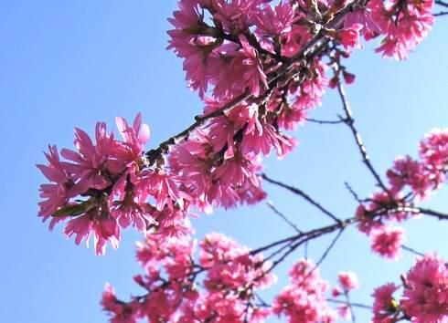 菊桃の花園、ラ・スカイファームが満開へ、イベント開催中