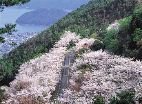 野呂山さざなみスカイライン 桜の写真