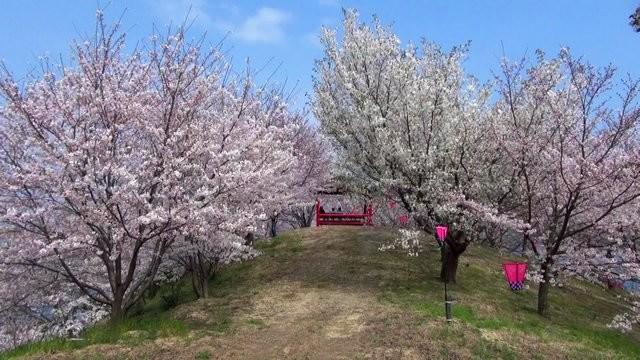佐木島 港の丘公園の桜 画像11