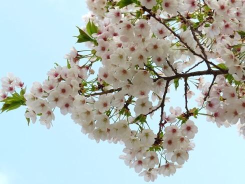 佐木島 港の丘公園の桜 画像9