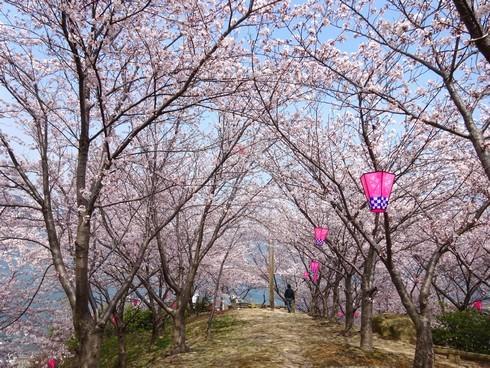 佐木島 港の丘公園の桜 画像10