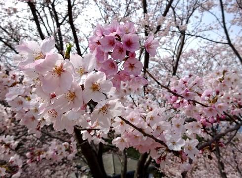佐木島 港の丘公園の桜 画像8