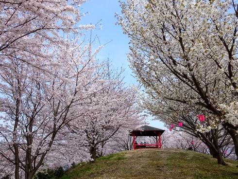 港から大満開!佐木島 港の丘公園が春色に