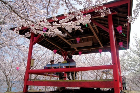 佐木島 港の丘公園の桜 画像5