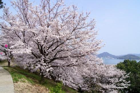 佐木島 港の丘公園の桜 画像6