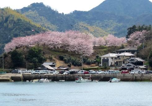 佐木島 港の丘公園の桜 画像1