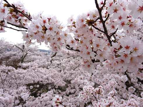 尾関山公園の桜 画像2