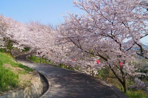 佐木島 サイクリングで千本桜