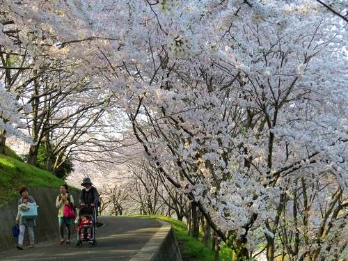 佐木島 塔の峰千本桜 画像10