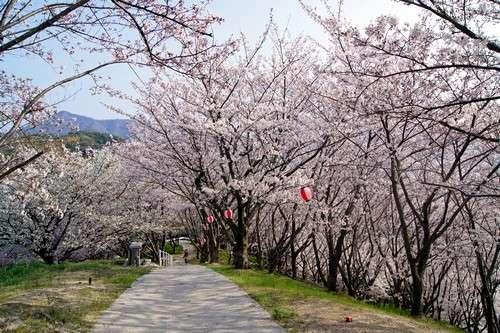 佐木島 塔の峰千本桜 画像5