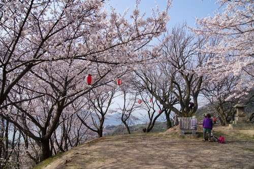 佐木島 塔の峰千本桜 画像4