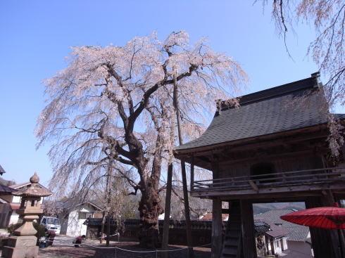 庄原 円正寺のシダレザクラ
