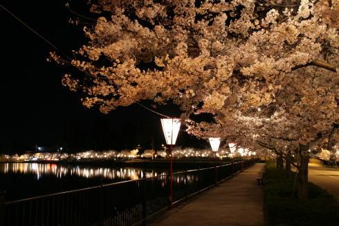 庄原 上野公園の桜