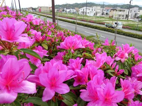 広島市佐伯区石内、西風新都 紅白つつじ帯