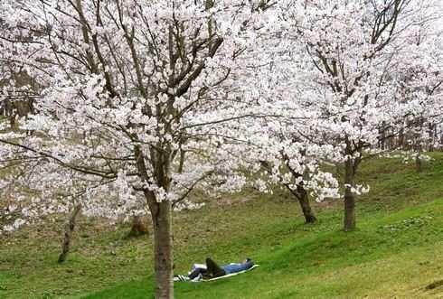 庄原 上野公園の桜 画像4