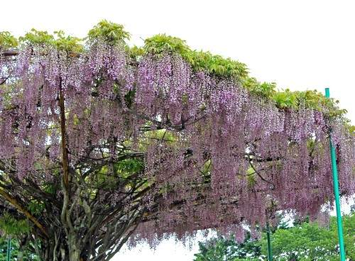 神乃倉山公園 藤棚の写真2
