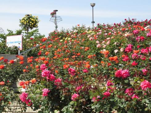 緑町公園 ばら園 画像2