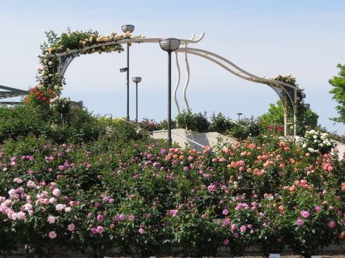 緑町公園 ばら園 画像3