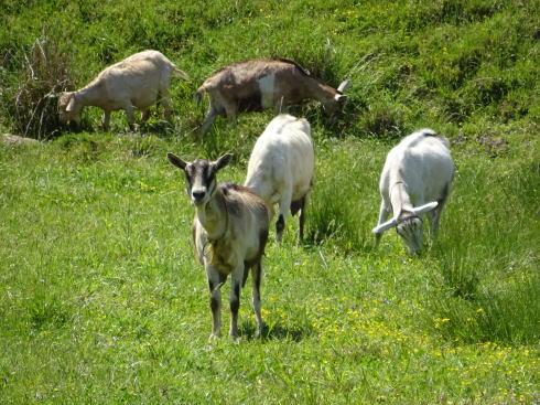 三良坂フロマージュ 牧場 ヤギの画像