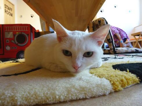 広島の猫カフェ バロン 店内の写真5