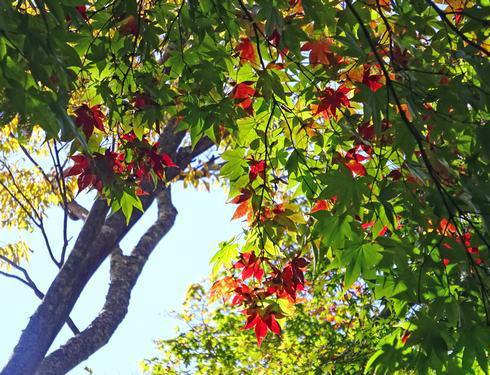 翁山公園 イロハモミジ 写真2