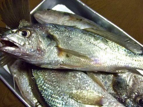 シログチ(グチ)、蒲鉾の材料に使われる白身魚