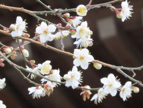 宮島にも春のきざし、梅が咲く暖かな風景
