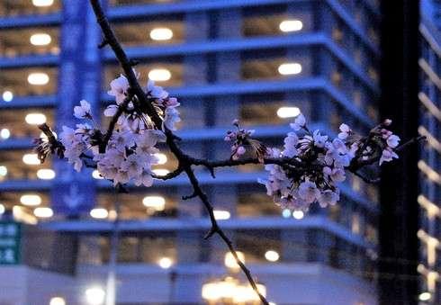 猿猴橋の桜