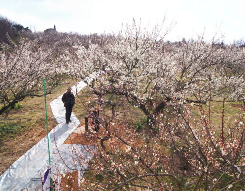 三原 満汐梅林 園内の様子5